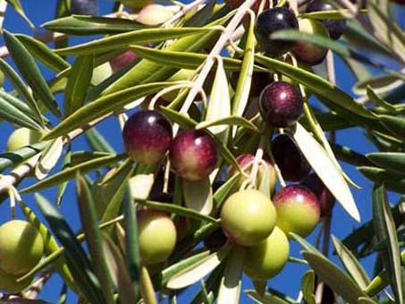olivas-envero-manzanilla-cacerena